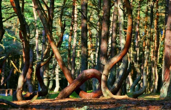 Танцующий лес на Куршской косе.