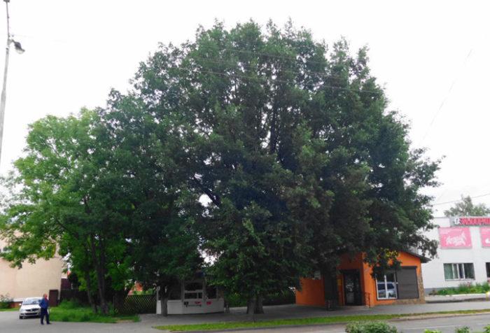 Вековой дуб